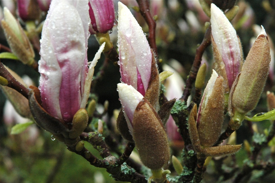 Xin Yi Hua (Magnolia) used in Chinese Herbal Medicine